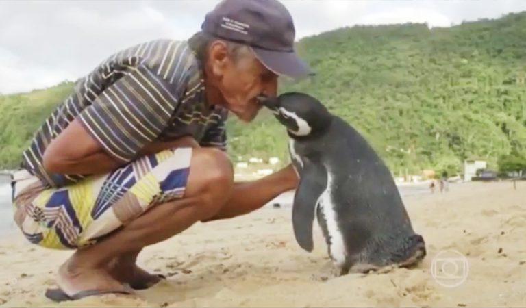 Pingüino leal viaja miles de kilómetros para visitar a su salvador